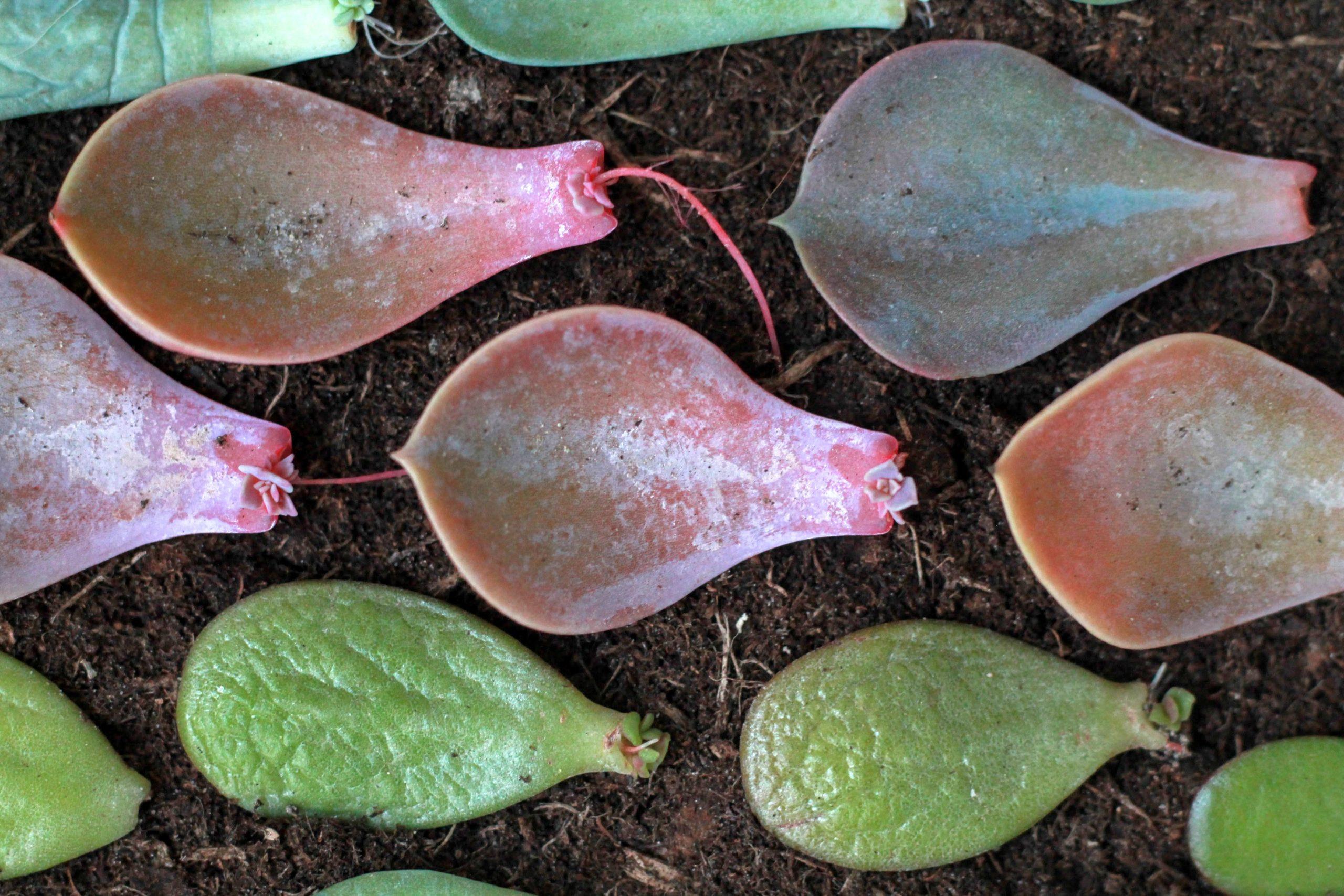 vetplant bladstek