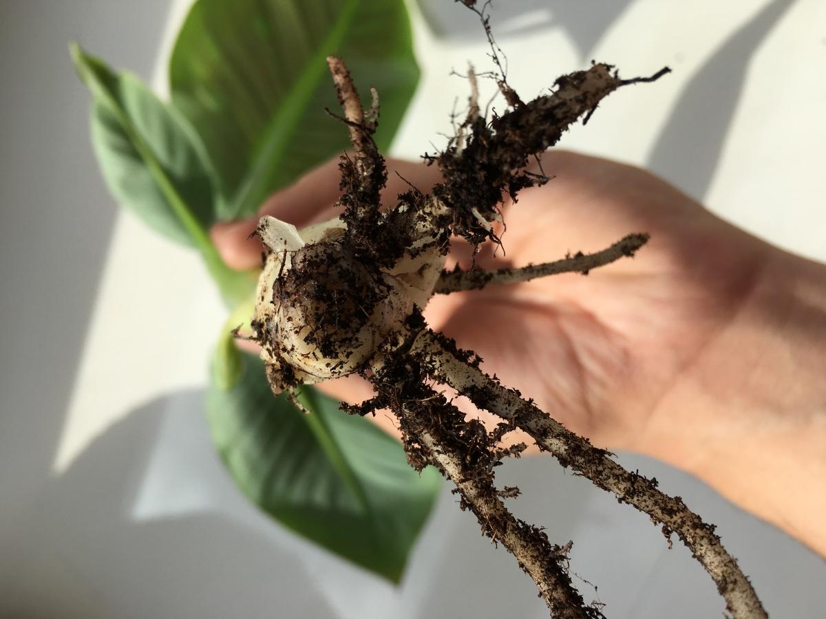 Bananenplant stek