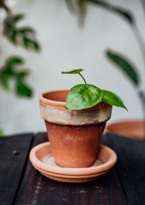 Alocasia Calidoracutting, plug plant, baby plant