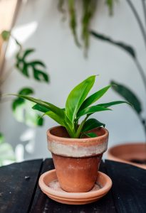 Philodendron Imperial Green cutting, plug plant, baby plant