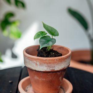 Alocasia Silver Dragon plug plant