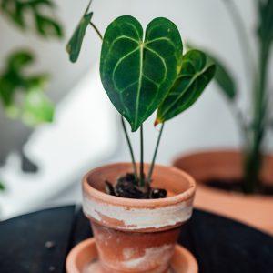 Anthurium Clarinervium plug plant