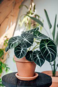 Alocasia Black Velvet, rare plant, for sale