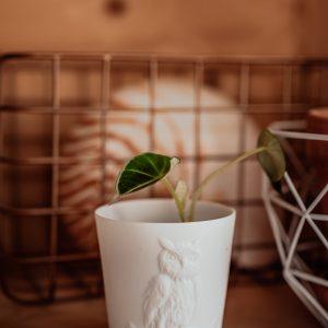 Alocasia Black Velvet plug plant
