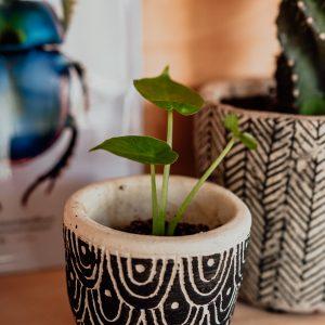 Alocasia Calidora plug plant
