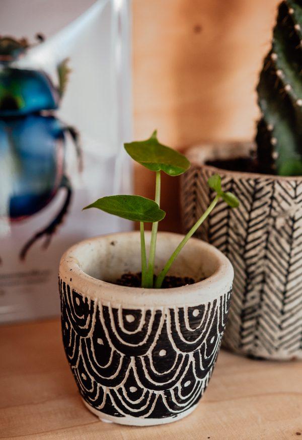 Alocasia Calidora cutting, plug plant, baby plant