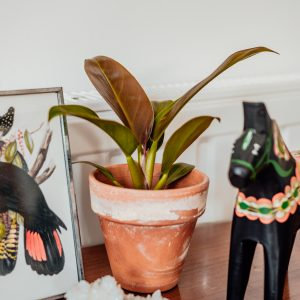 Philodendron Imperial Red plug plant