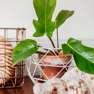 Philodendron Squamiferum plug plant