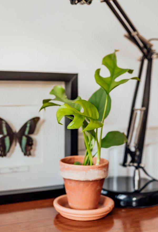 Rhaphidophora Tetrasperma cutting, plug plant, baby plant