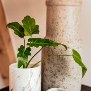 Philodendron Xanadu plug plant