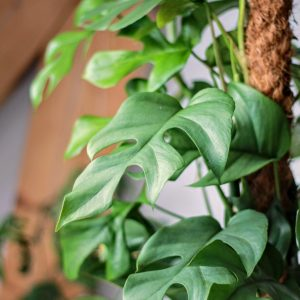 Rhaphidophora Tetrasperma on moss pole