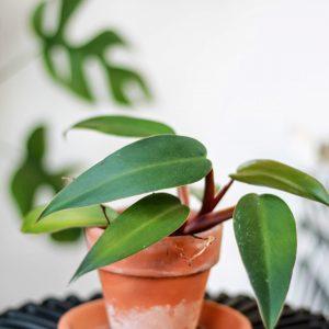 Philodendron Mandianum plug plant