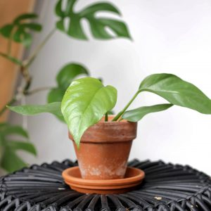 Rhaphidophora Tetrasperma plug plant