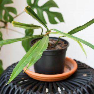 Anthurium Vittarifolium small
