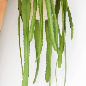 Salinicereus Validus hanging plant