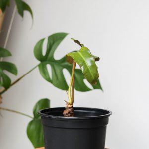 Philodendron Billietiae