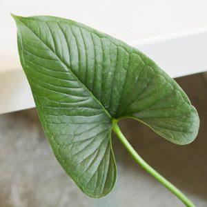 Anthurium Lancea