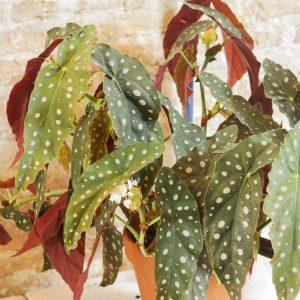Begonia Maculata large