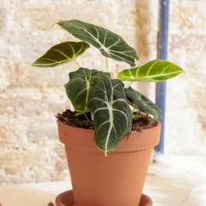 Alocasia Black Velvet medium