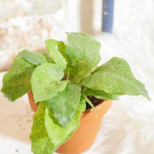 Calathea Mosaica mini
