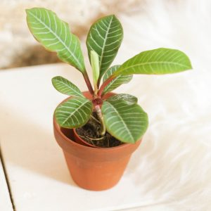 Euphorbia Leuconeura (Madagascar Jewel)