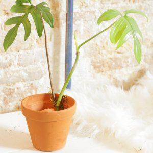 Philodendron Pedatum cutting