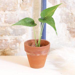 Alocasia Cucullata plug plant