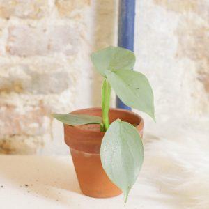 Philodendron Hastatum plug plant