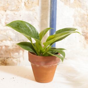 Philodendron Imperial Green plug plant