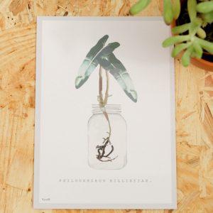 Philodendron Billietiae A6