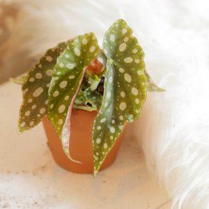 Begonia Maculata plug plant