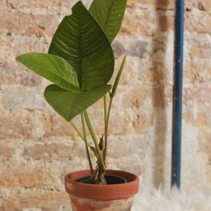 Anthurium Hybrid