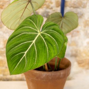 Philodendron Gloriosum (pre-order)