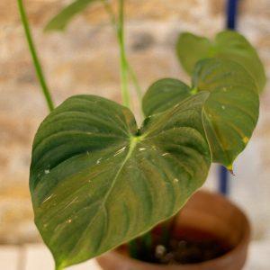 Philodendron Pastazanum (pre-order)