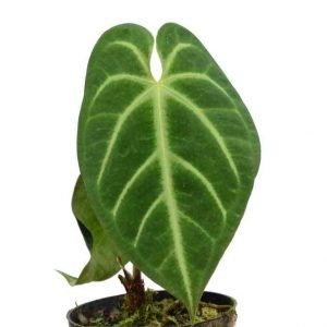 Anthurium Magnificum (pre-order)
