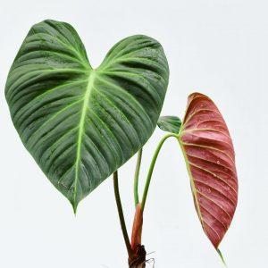 Philodendron El Choco Red (pre-order)
