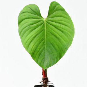 Philodendron Nangaritense (pre-order)