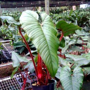 Philodendron Squamicaule (pre-order)
