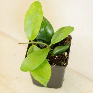 Hoya obscura S