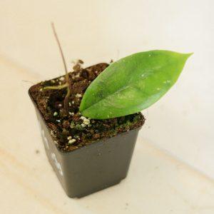Hoya juannguoiana S