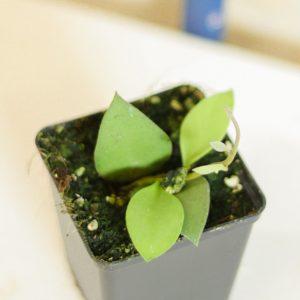 Hoya nummularioides S