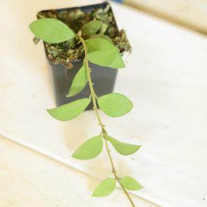 Hoya nummularioides L