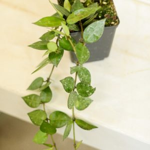 Hoya lacunosa with little splash