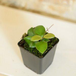 Hoya panchoi S