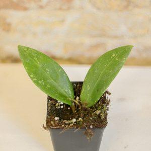 Hoya bangpla 3 spotted leaves S