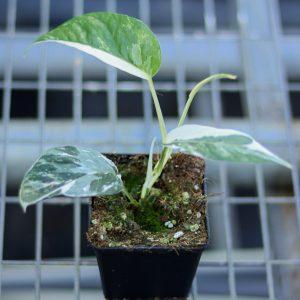 Epipremnum pinnatum variegata